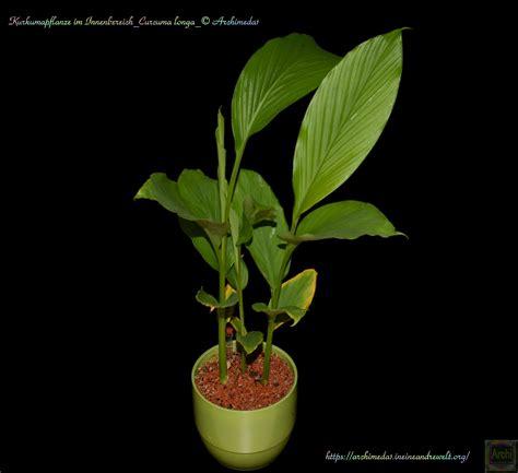 weihnachtsstern wieder zum blühen bringen kurkuma pflanze pflege safranwurz gelbwurz curcuma alismatifolia pflege anleitung kurkuma