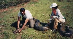 Python Eats Crocodile - Tales of Big Snake Eating | That ...