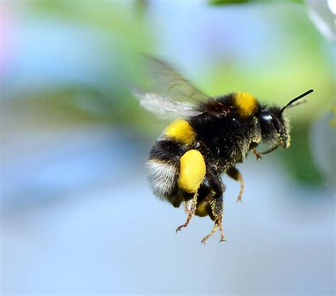 Bumble Bee Insect Flying