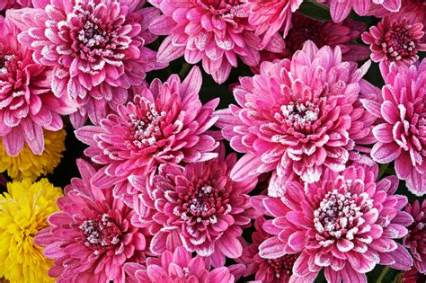 mums in wintering mums tips for winter care for mums