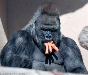 Angry Silverback Gorilla Face