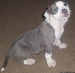 Female Blue Nose Pitbull Puppy