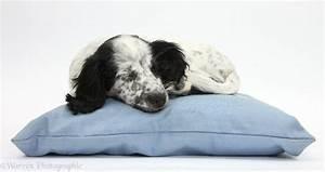 Dog: Black and white puppy sleeping on a cushion photo WP37364