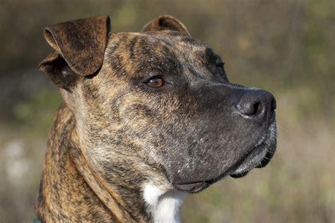 pit bull whats   dog breed  bark