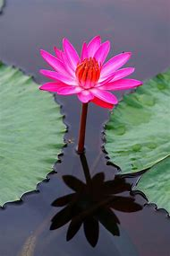 Lily Pads & Lotus Flower