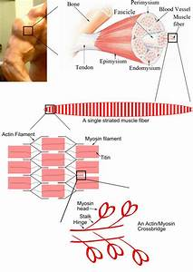Diagrams For Muscle Contraction