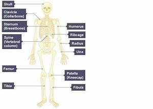 Diagram Of Skeletal System Of Human Body