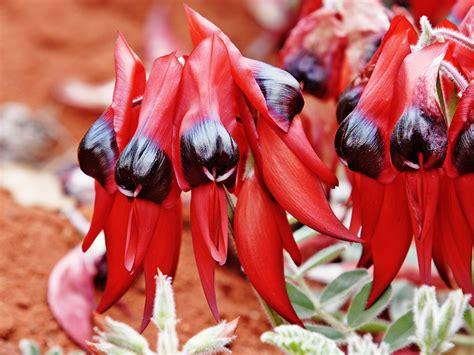 swainsona formosa desert pea sturt australia flower south wikipedia sturts state australian plant flowers emblem clianthus western wildflowers floral native