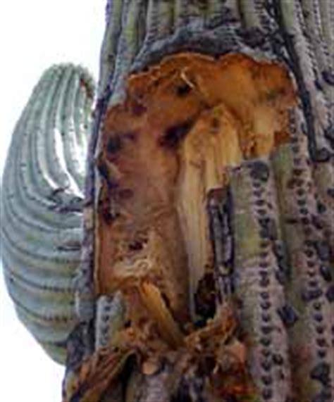 saguaros  pleats saguaro national park