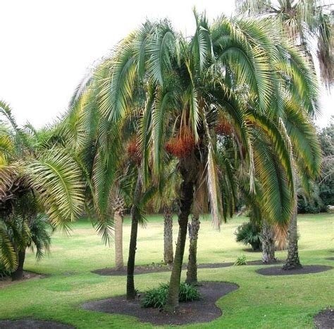 Palmeira Phoenix rupicola - Jardim Exótico - O maior ...