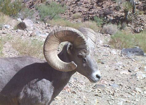 do bighorn sheep shed their horns desert bighorn 101 lecture 2 horns of the bighorn