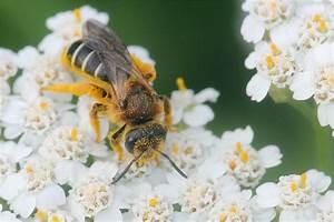 Welche Blumen Für Bienen : schlaraffenland f r bienen ~ Eleganceandgraceweddings.com Haus und Dekorationen