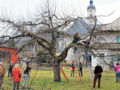 alten apfelbaum schneiden kiefersfeldener schneiden 100 jahre alten apfelbaum rosenheim land