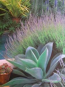 71 Nova Lights Sculptural Agave Against Soft Lavender Garden Design