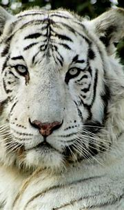 White Tiger   getting up and close with this white tiger ...