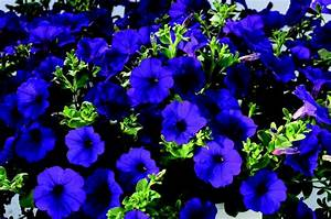 Petunia Whispers Blue | Flowers/Plants for Spring 2013 ...