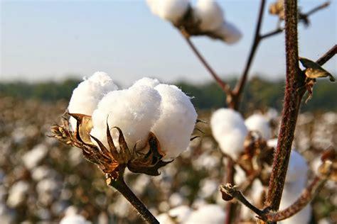 cotton planters burkina faso gets cotton trade loan global trade review