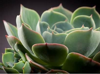 Cactus Echeveria Plant Background Desktop Wallpapers Earth