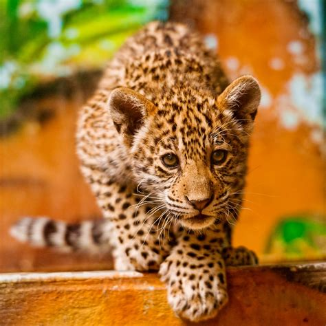 pounce mayra  cute  young female jaguar