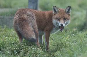 Woman Strangled, Killed Rabid Fox After It Attacked Her Leg  Fox