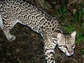 ocelot cat file ocelot leopardus pardalis belize zoo 6 jpg