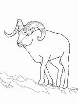 Sheep Coloring Pages Dall Bighorn Clipart Printable Face Adult Outline Mountain Rocky Crafts Pata Sauti Animal Drawings Cartoon Easy Colored sketch template