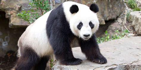 fourth national giant panda survey results zoos sa