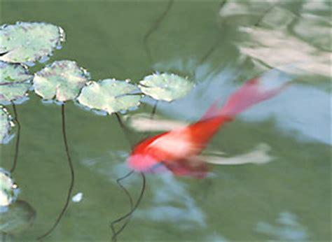 goldfish pond gardenorg