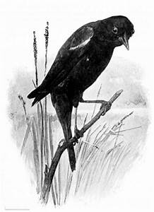 Black And White Crow Drawing | www.pixshark.com - Images ...