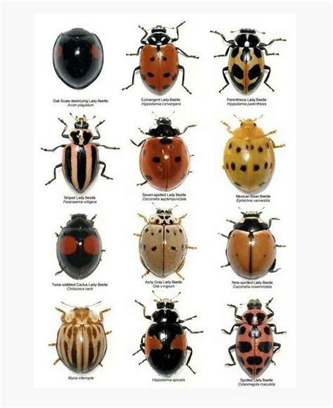 ladybug vs asian beetle 26 best lady bugs images on pinterest ladybugs butterflies and lady bugs