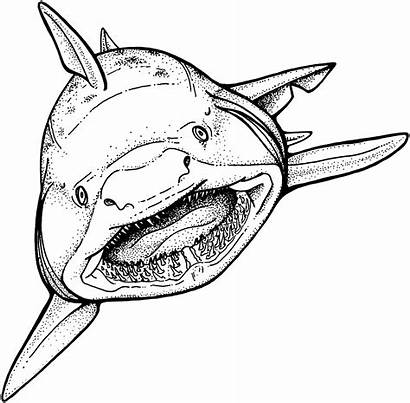 Shark Coloring Pages Weddings Sheets Source