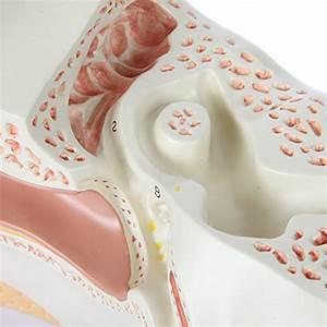 Axis Scientific Human Ear Model