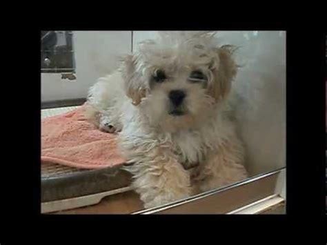 puppy   mixed breed dog pekingese
