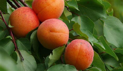 wie isst aprikosenkerne aprikose prunus armeniaca l prunus armeniaca l dr hauschka