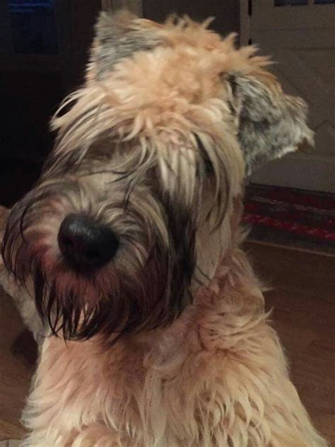 Why Is My Wheaten Terrier Shedding by 752 Best Images About Our Story The Soft Coated