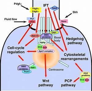 The Roles Of Cilia In Developmental Disorders And Disease
