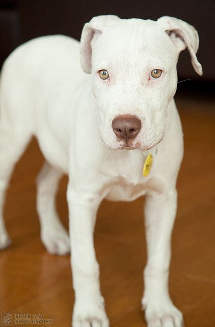 tofu  dog deaf white pitbull mix  austin pets
