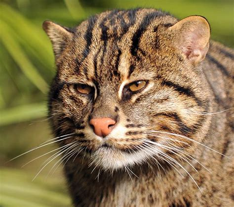 fishing cat cats endangered wild asian ultra zoo felines faces tropical felids looks aren asia crop society international newquay visiting