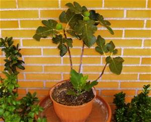Planter Un Figuier : quel fruitier pour votre balcon ~ Melissatoandfro.com Idées de Décoration