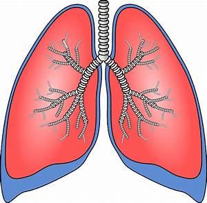 ¿Qué funciones cumplen los pulmones? Salud a Tiempo