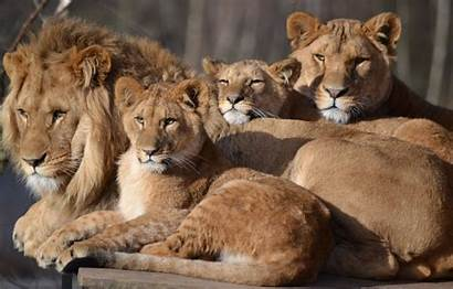 Safari Lioness Zoo Cubs Cat Animals Leo