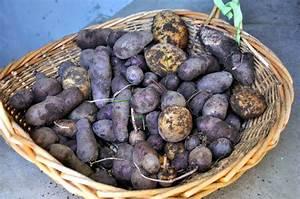 Période Pour Planter Les Pommes De Terre : planter et recolter la pomme de terre gerbeaud ~ Melissatoandfro.com Idées de Décoration
