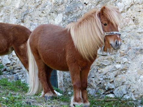 photo shetland pony pony horse animal