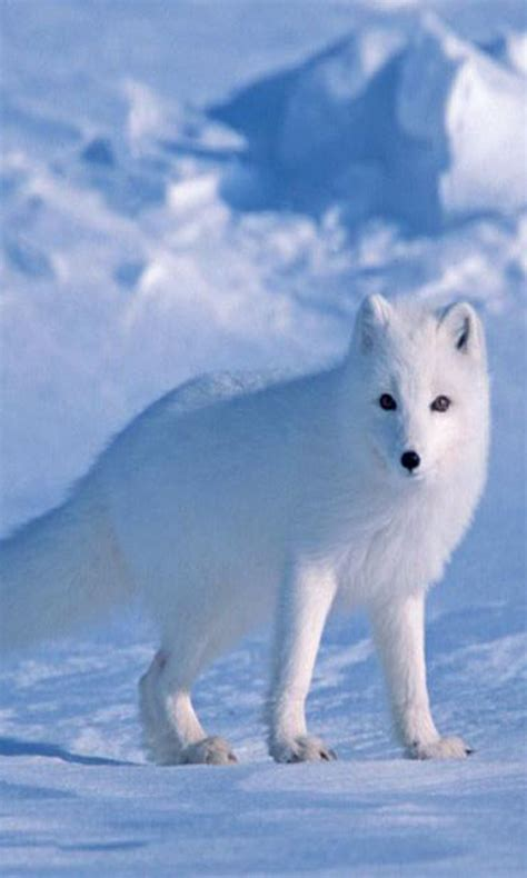 arctic fox image apk   android getjar