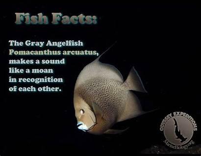 Facts Angelfish Mouth Biology Gray Fish Marine