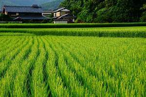 rice field | Japanese Culture | Pinterest | Fields and Rice