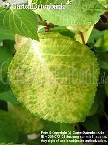 Kamelie Gelbe Blätter : hortensie bl tter werden gelb u wei krankheit ~ Lizthompson.info Haus und Dekorationen