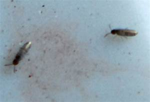elongate bodied springtails what39s that bug With how to get rid of springtails in bathroom