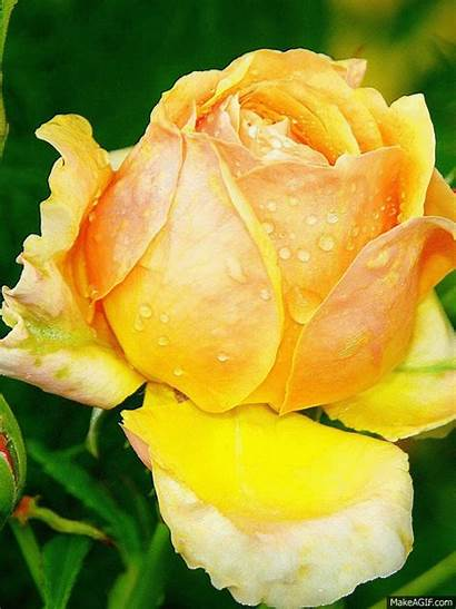 Yellow Rose Flower Animated Flowers Gifs Roses