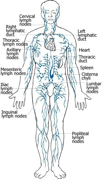 knowledge class  lymphatic system